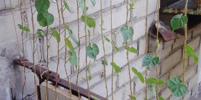Почему у ипомеи желтеют, скручиваются и опадают листья?
