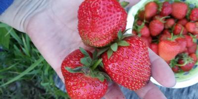 Осенью на даче радует виктория))) С ягодой до первого снега!