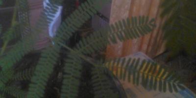 Помогите узнать, что это такое растёт у нас на подоконнике?