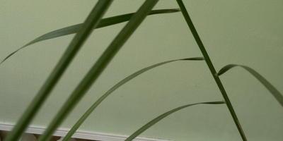 Подскажите название пальмы