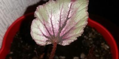 Подскажите, пожалуйста, название этого растения!