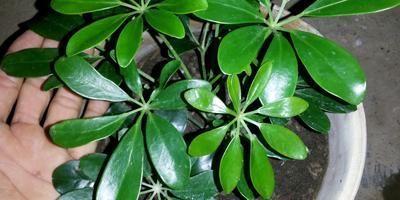 Что это за растение и как его размножать?