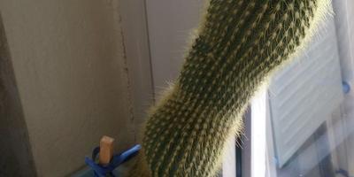 Подскажите название кактуса