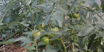 Моя первая помидорная эпопея