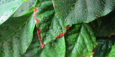 У куста кофе стали коричневыми кончики листьев. Помогите узнать причину и устранить ее