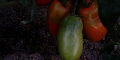 Любимые овощи в теплице