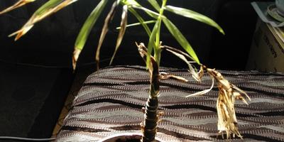 Помогите определить заболевание растения и вылечить его