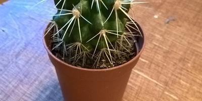 Подскажите, пожалуйста, что это за кактус