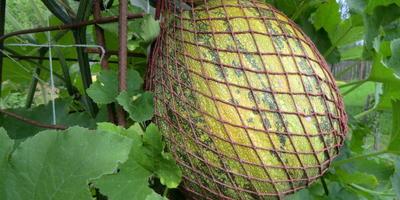 Штирийская голосемянная (австрийская) масляная тыква