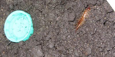 Подскажите название насекомого. Не вредно ли оно для растений и человека?