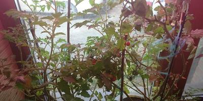 Почему плохо растут балконные огурцы?