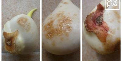 Чем подпорчены луковицы тюльпанов? Опасно ли это?
