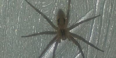 Пожалуйста, помогите определить, что это за паук?