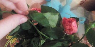 Как спасти подмерзшие розы?