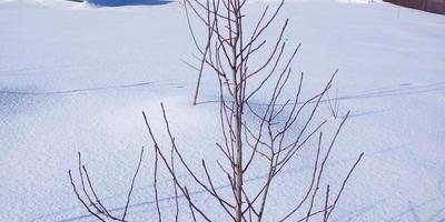 Требуется ли обрезка 4 летней груши, которая имеет вертикальные побеги на скелетных ветвях?