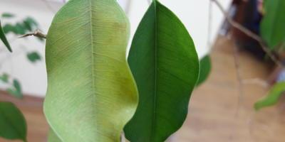 Листья фикуса Бенджамина желтеют и опадают. В чем причина и чем можно помочь?