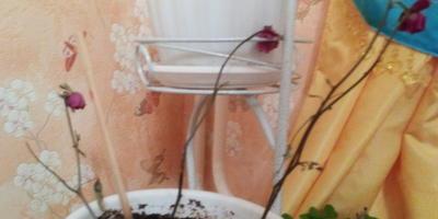 Розы стали черно-коричневыми. Смогут ли выжить?