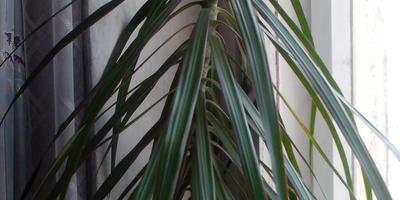 Подскажите название растения. Опадают листья. Что делать?