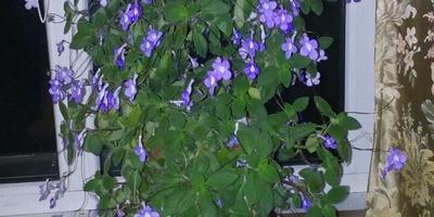 Подскажите название цветка. Как он размножается?