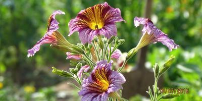 Теперь это одни из любимых цветов - сальпиглоссис