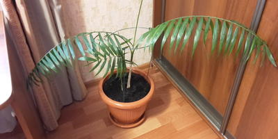 Как называется эта пальма?