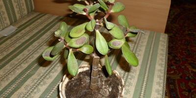 Помогите спасти денежное дерево
