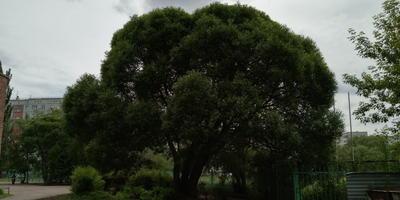 Подскажите, что это за дерево?