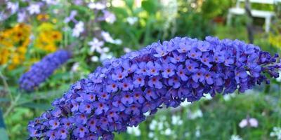 Буддлея: цветок или кустарник?