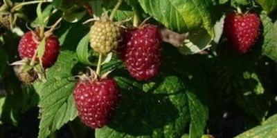 Малина: сорта, особенности выращивания и ухода, профилактика болезней и борьба с вредителями.