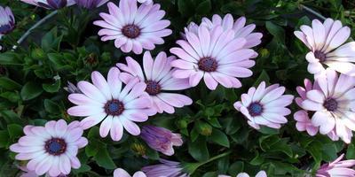 Диморфотека – идеальное растение для оконных ящиков и не только