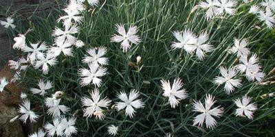 Гвоздика - цветок Зевса