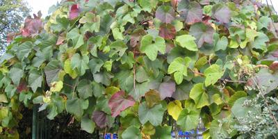 Растения для вертикального озеленения. Что выбрать?