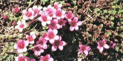 Растения для альпийской горки – тонкости выбора