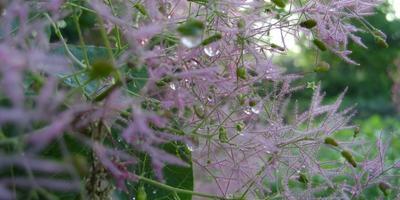 Скумпия хороша и весной и осенью! Посадка, выращивание, уход
