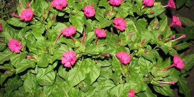 Мирабилис ялапа - красавица ночи