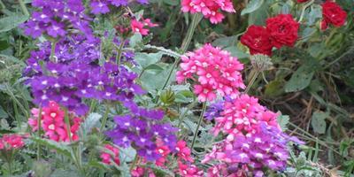Вербена – цветет и пахнет!