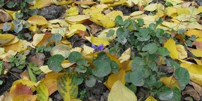 Опушённая фиалка цветет в ноябре!