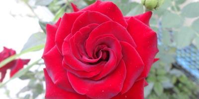 Осеннее цветение роз