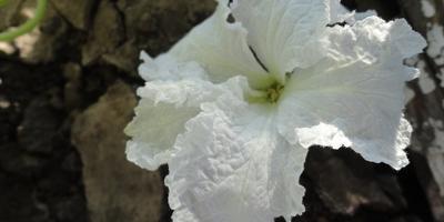 "Цветок тыквы сорта ""Булава"""
