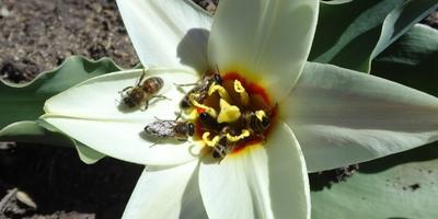 Тюльпан – любимец пчел
