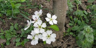 Своенравная груша цветет в июне