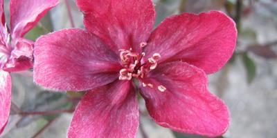 Декоративная яблоня Роялти