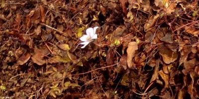Зимой цветет клематис