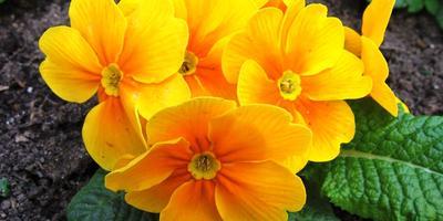Примулы: группы культивирования и нюансы выращивания