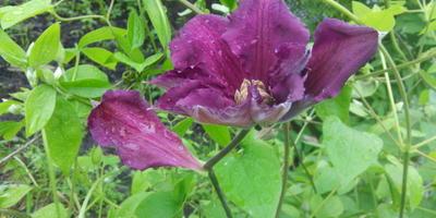 Причуды природы: необычный цветок клематиса