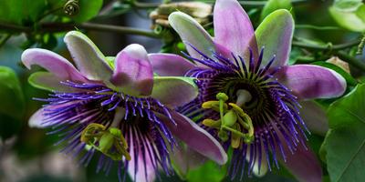 Пассифлора – удивительный экзот
