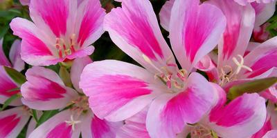 Годеция - цветок страсти