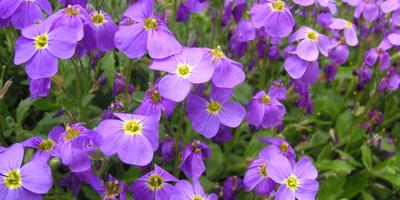 10 лучших весеннецветущих почвопокровных растений для солнечных участков