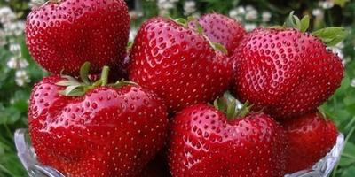 Земляника садовая: рекомендации по выращиванию и выбору сорта от Агрофирмы ПОИСК