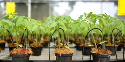 Как правильно высадить рассаду в открытый грунт